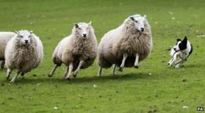 _69910989_sheep-dog-at-work-464