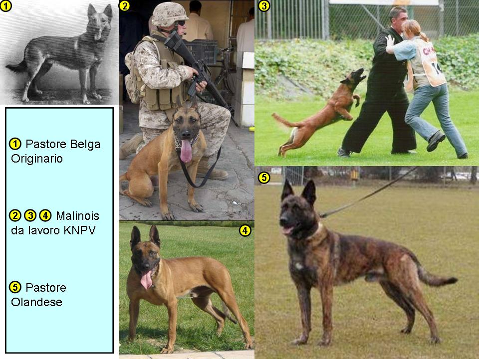 Malinois_KNPV