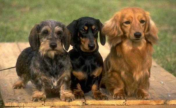 cani bassotti