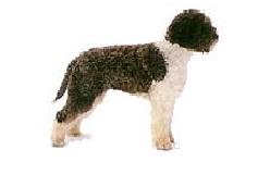 cane-lagotto
