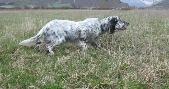 Setter inglese cani da lavoro cani utili for Cane setter