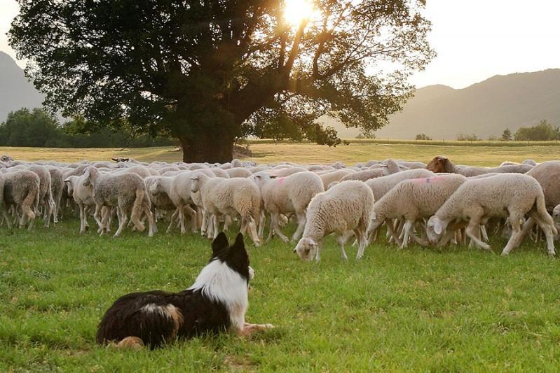 Risultati immagini per gregge di pecore e cani da pastore