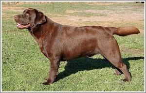 labrador-dog-ceasar1-300x192