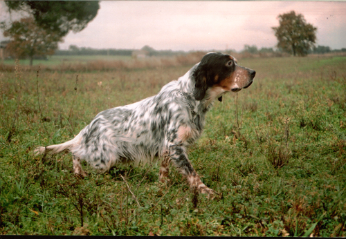 Cani da caccia cani da lavoro cani utili for Cane setter
