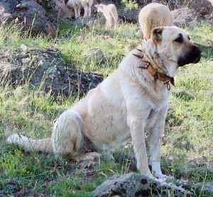 Kangal_dog_with_spikey_collar,_Turkey