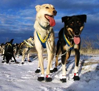 Le zampe dei cani sono protette con scarpe di tela