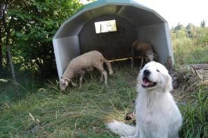 cane e pecore