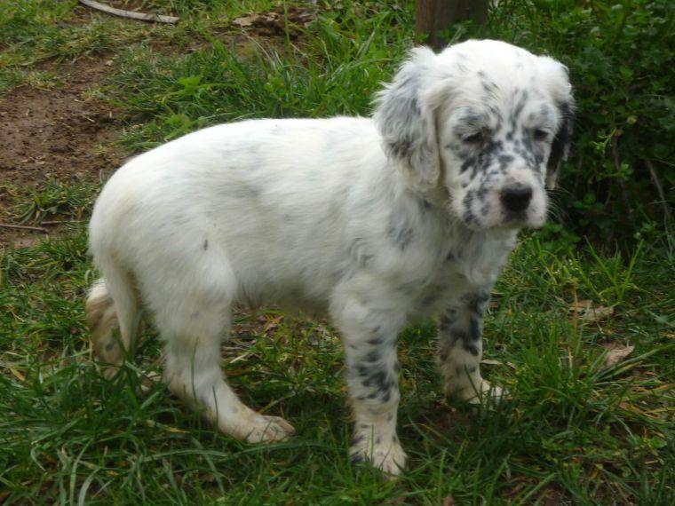 Fasi iniziali di scelta e addestramento del cane da ferma for Cane setter