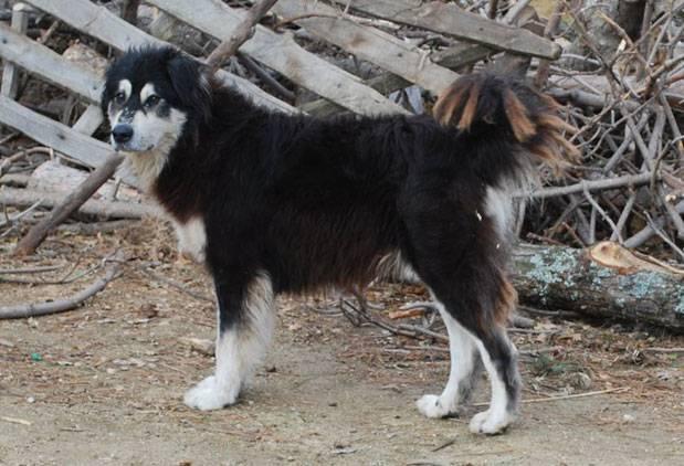 cane pastore della sila